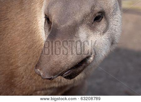 Tapir Snout Funny Portrait