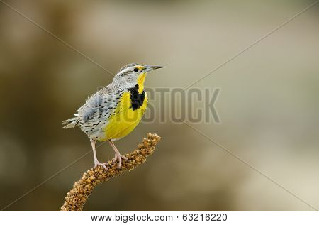 Western Meadowlark Front View