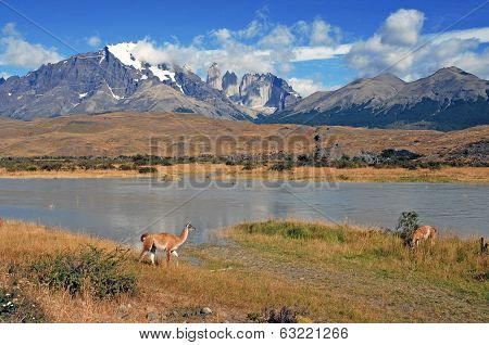 Guanaco in Torres del Paine, Patagonia, Chile