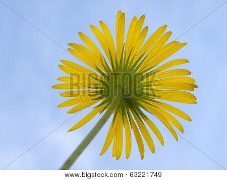 Flower Doronicum