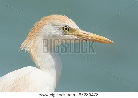 A Portrait Of A Cattle Egret