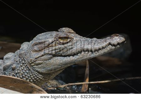 Head Shot Of A Young West African Crocodile