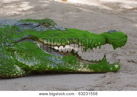 West African Crocodile Close Up