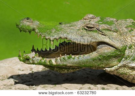 West African Crocodile With Duckweed And A Fly