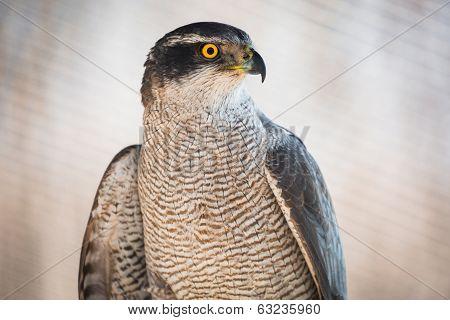 Brown hawk portrait