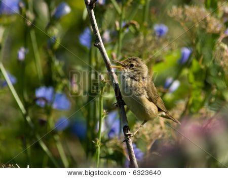 Acrocephalus Palustris, Marsh Warbler