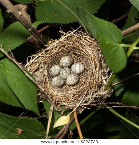 Eggs In A Nest. Acrocephalus Dumetorum, Blyth's Reed Warbler