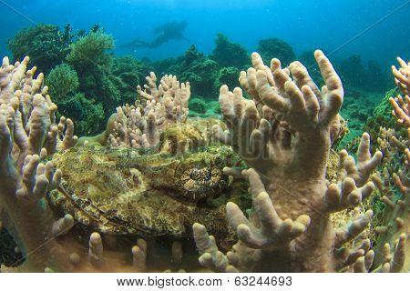 Crocodilefish and Scuba Diver