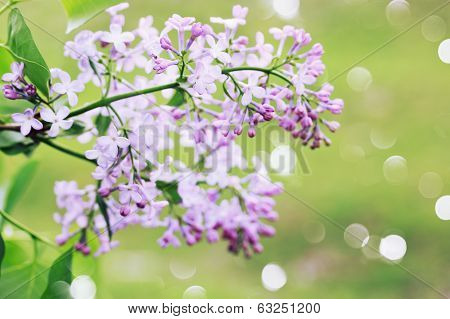Wild lilac branch