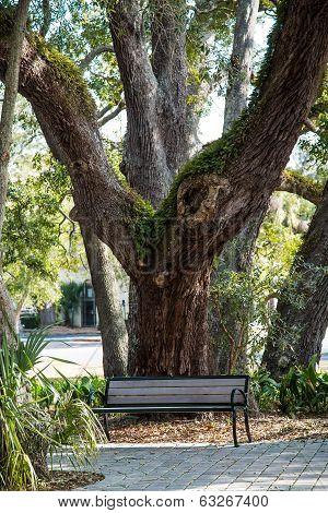 Wood Bench Under Massive Oak