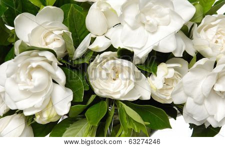 bouquet gardenia plant isolated
