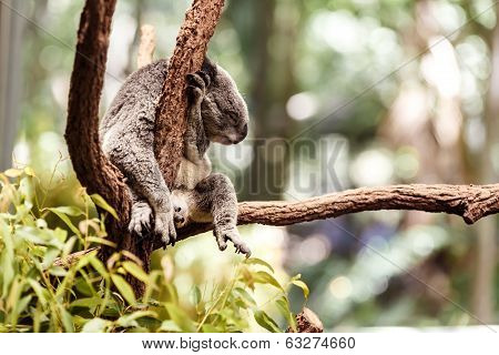 Koala Bear on a tree