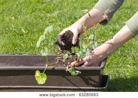 Transplanting Geraniums In A Pot.