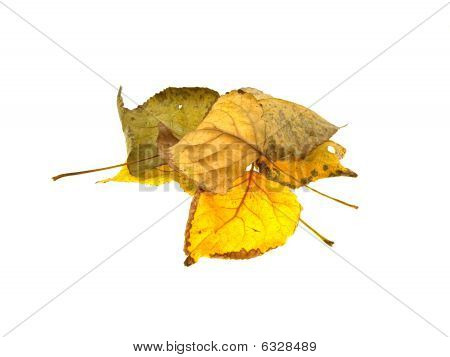 Some Dry Autumn Leaves Of A Tree