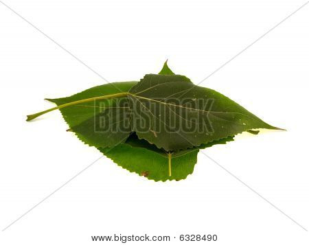 Four Leaves Of A Poplar