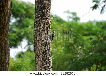 Male Spot-breasted Woodpecker (dendrocopos Analis)