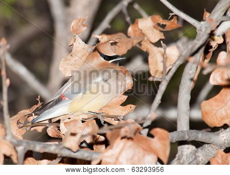Cedar Waxwing, Bombycilla cedrorum camouflaged in an oak tree among dry leaves, making it difficult to find for predators