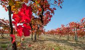Vineyard leaf in autumn season