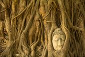 picture of expressionism  - Buddha head in the roots of the tree  - JPG