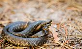 pic of snake-head  - Grass Snake (Natrix natrix) adder head raising defensiveness in forest early spring