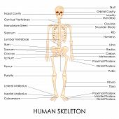 stock photo of sternum  - vector illustration of diagram of human skelton - JPG