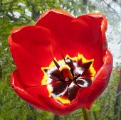 Red Tulip On Nature Background Macro