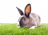 Rabbit in green grass on white background