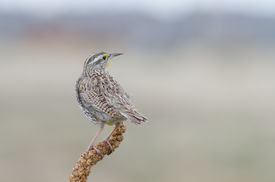 picture of western nebraska  - Back view of a perched Western Meadowlark. State bird of Kansas Montana Nebraska North Dakota Oregon and Wyoming. ** Note: Soft Focus at 100%, best at smaller sizes - JPG