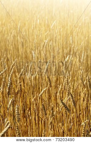 Wheat field, sunny day