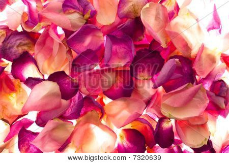 Rose Petals On Lighttable