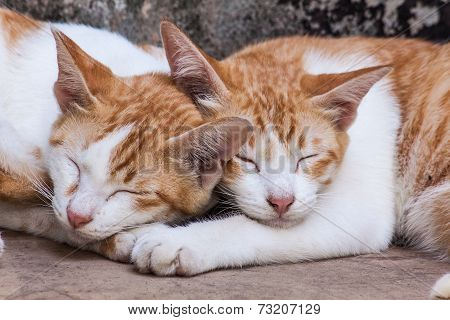 Sleeping Twin Cat