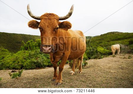 Red Cow With Big Horns Curves