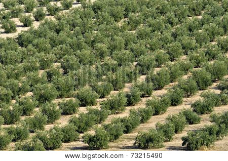 rows of olives in Andalusia