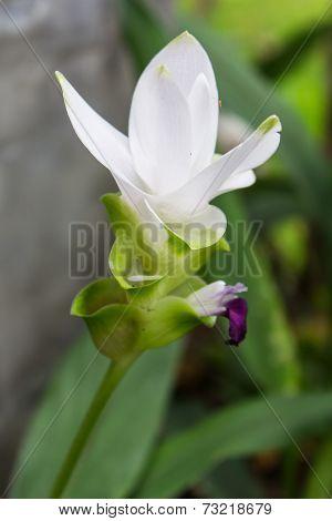 Curcuma Alismatifolia, Siam Tulip, Flower