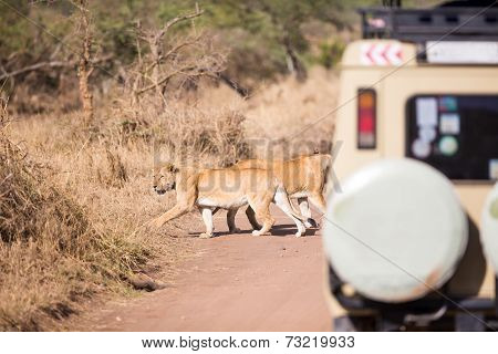 Wildlife safari tourists on game drive