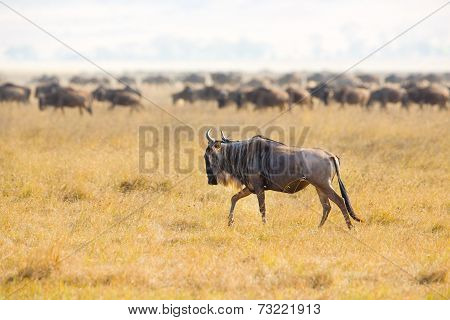 Herds of wildebeests in the Ngorongoro