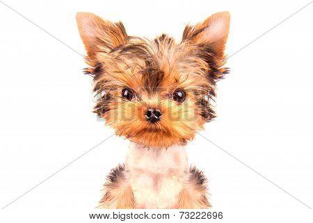 A beautiful dog isolated