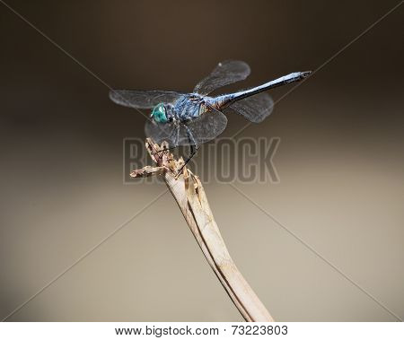 Blue Dasher (pachydiplax Longipennis) Dragonfly.