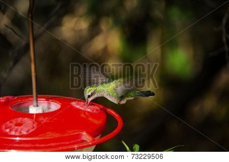 Hummingbird Feeding Wings Showing Motion