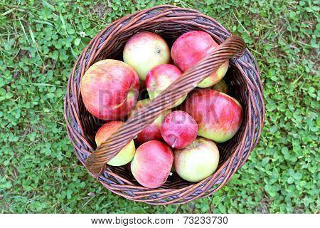 Basket Full Of Freshly Harvested Cortland Apples