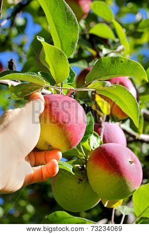 Hand Picking Ripe Fruit From Apple Tree