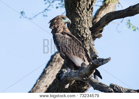 Juvenile Bateleur Sitting In A Dead Tree In Early Morning