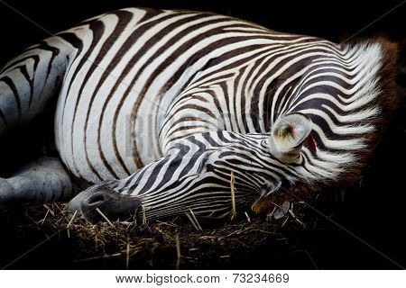 Zebra/african Zebra Sleeping On Field.