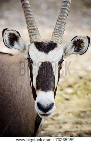 Oryx  Face