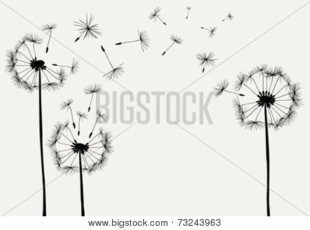 dandelions silhouettes with seeds flying in the wind