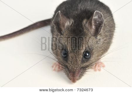 Close up of deer mouse