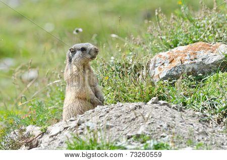 Attentive Marmot