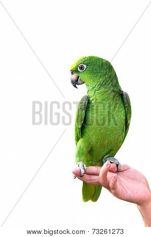 YELLOW-CROWNED AMAZON on hand  isolated on white background