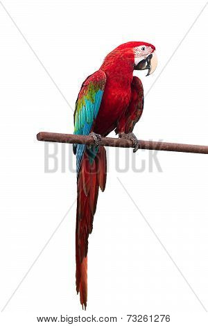 Green-winged Macaw Ara chloropterus red birds isolated on white background with clipping path.