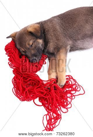 Puppy sleeping on a hank of red yarn isolated on white